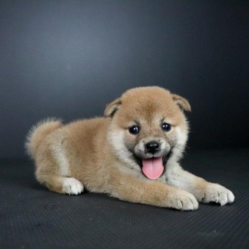 柴犬の子犬(ID:1262511756)の2枚目の写真/更新日:2019-07-15