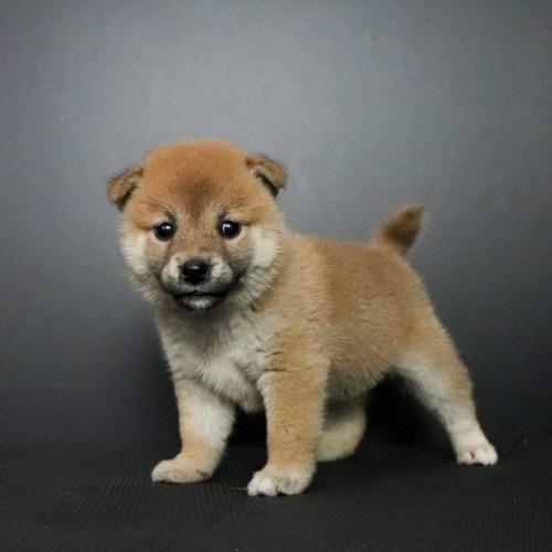 柴犬の子犬(ID:1262511756)の3枚目の写真/更新日:2019-07-15