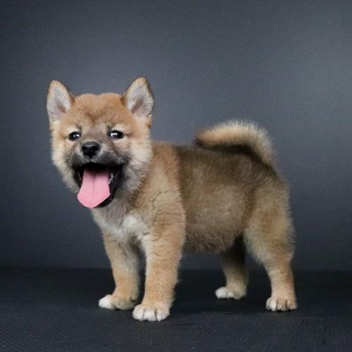 柴犬の子犬(ID:1262511757)の3枚目の写真/更新日:2019-07-15