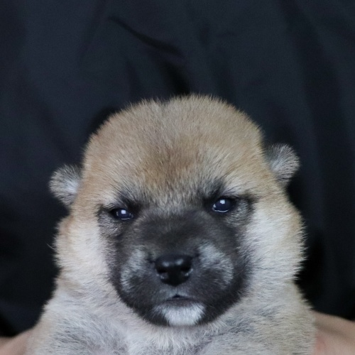 柴犬の子犬(ID:1262511758)の1枚目の写真/更新日:2019-07-15