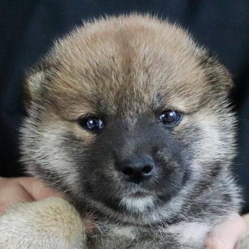 柴犬の子犬(ID:1262511761)の1枚目の写真/更新日:2019-07-17