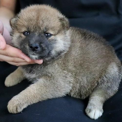 柴犬の子犬(ID:1262511761)の2枚目の写真/更新日:2019-07-17