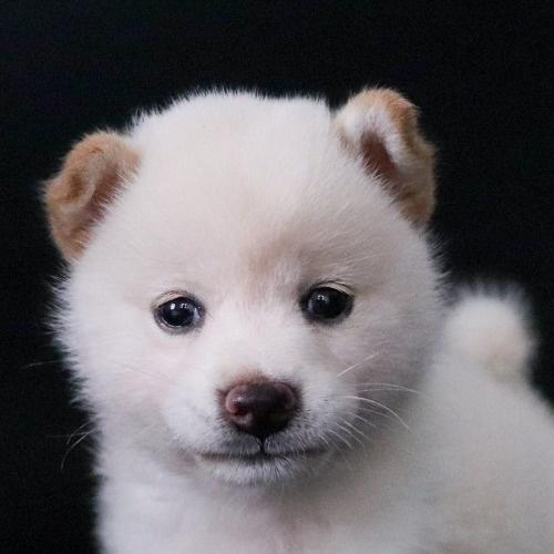 柴犬の子犬(ID:1262511763)の1枚目の写真/更新日:2019-07-17