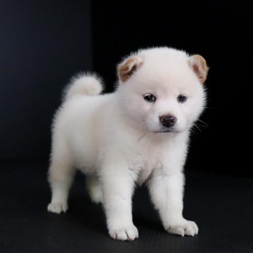 柴犬の子犬(ID:1262511763)の2枚目の写真/更新日:2019-07-17