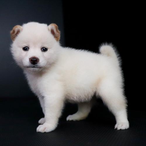 柴犬の子犬(ID:1262511763)の3枚目の写真/更新日:2019-07-17