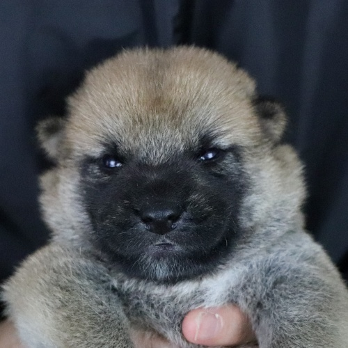 柴犬の子犬(ID:1262511765)の1枚目の写真/更新日:2019-07-23