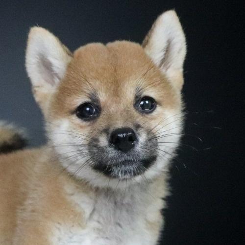 柴犬の子犬(ID:1262511767)の1枚目の写真/更新日:2019-09-01