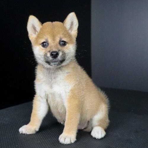柴犬の子犬(ID:1262511767)の2枚目の写真/更新日:2019-09-01