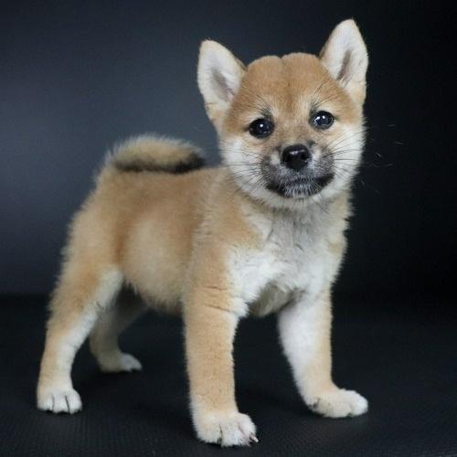 柴犬の子犬(ID:1262511767)の3枚目の写真/更新日:2019-09-01