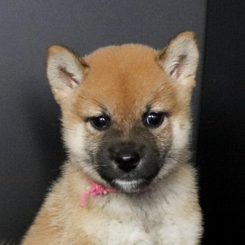 柴犬の子犬(ID:1262511768)の1枚目の写真/更新日:2019-08-25