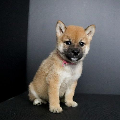 柴犬の子犬(ID:1262511768)の2枚目の写真/更新日:2019-08-25