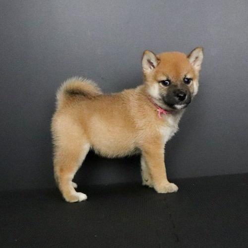 柴犬の子犬(ID:1262511768)の3枚目の写真/更新日:2019-08-25