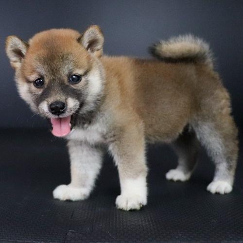柴犬の子犬(ID:1262511769)の3枚目の写真/更新日:2019-08-01