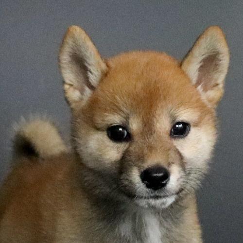 柴犬の子犬(ID:1262511770)の1枚目の写真/更新日:2019-08-26