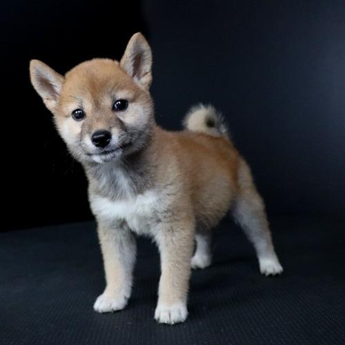 柴犬の子犬(ID:1262511770)の3枚目の写真/更新日:2019-08-26
