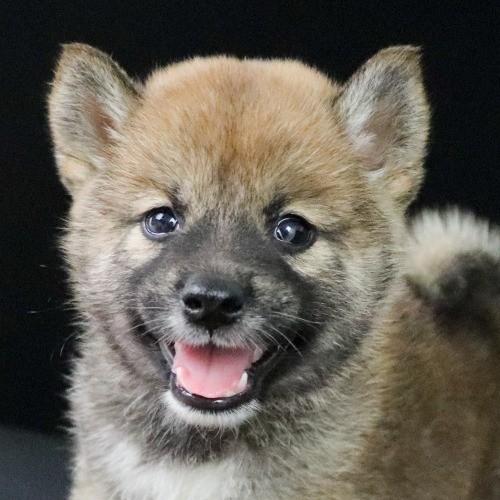 柴犬の子犬(ID:1262511771)の1枚目の写真/更新日:2019-08-01