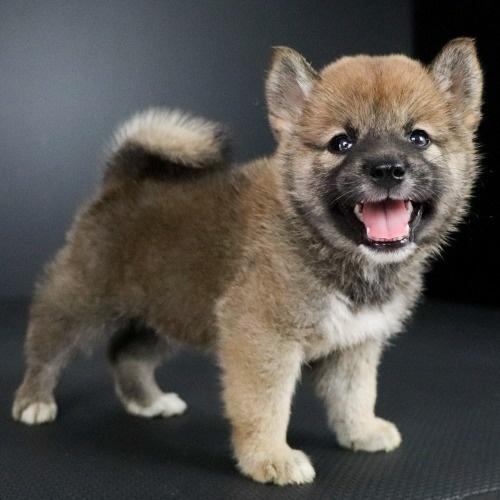 柴犬の子犬(ID:1262511771)の3枚目の写真/更新日:2019-08-01