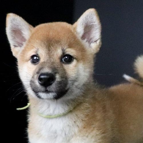 柴犬の子犬(ID:1262511772)の1枚目の写真/更新日:2019-08-31