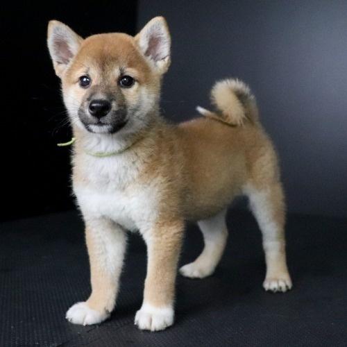 柴犬の子犬(ID:1262511772)の2枚目の写真/更新日:2019-08-31