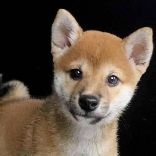 柴犬の子犬(ID:1262511773)の1枚目の写真/更新日:2019-08-31