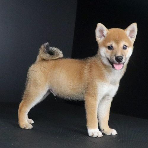 柴犬の子犬(ID:1262511773)の2枚目の写真/更新日:2019-08-31