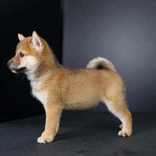 柴犬の子犬(ID:1262511774)の2枚目の写真/更新日:2019-08-23