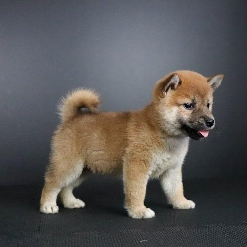 柴犬の子犬(ID:1262511775)の2枚目の写真/更新日:2019-08-21