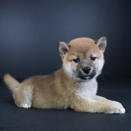 柴犬の子犬(ID:1262511775)の3枚目の写真/更新日:2019-08-21