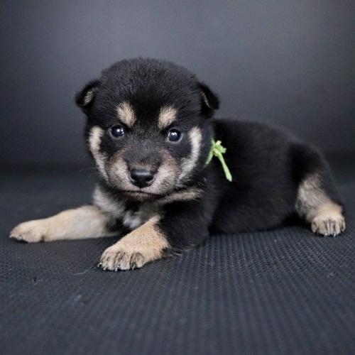 柴犬の子犬(ID:1262511777)の2枚目の写真/更新日:2019-08-28