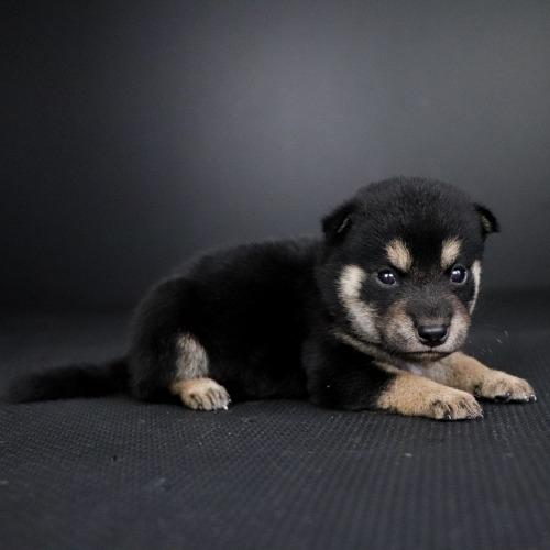 柴犬の子犬(ID:1262511777)の3枚目の写真/更新日:2019-08-28