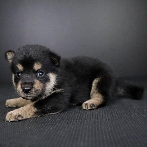 柴犬の子犬(ID:1262511778)の2枚目の写真/更新日:2019-08-29