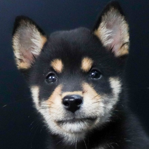柴犬の子犬(ID:1262511779)の1枚目の写真/更新日:2019-09-02