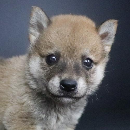 柴犬の子犬(ID:1262511781)の1枚目の写真/更新日:2019-09-13