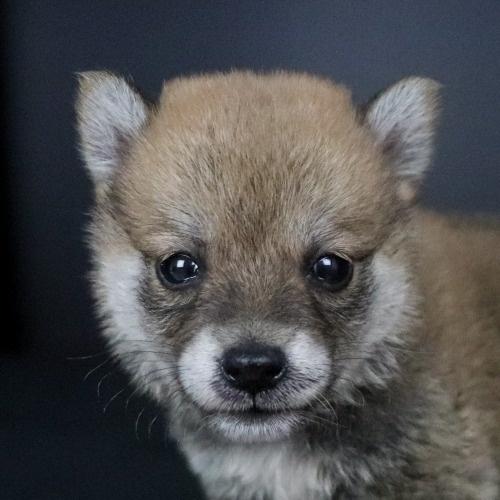 柴犬の子犬(ID:1262511782)の1枚目の写真/更新日:2019-09-13