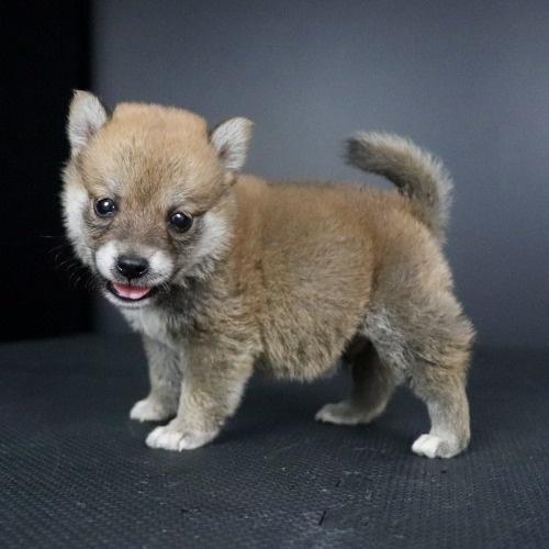 柴犬の子犬(ID:1262511782)の2枚目の写真/更新日:2019-09-13