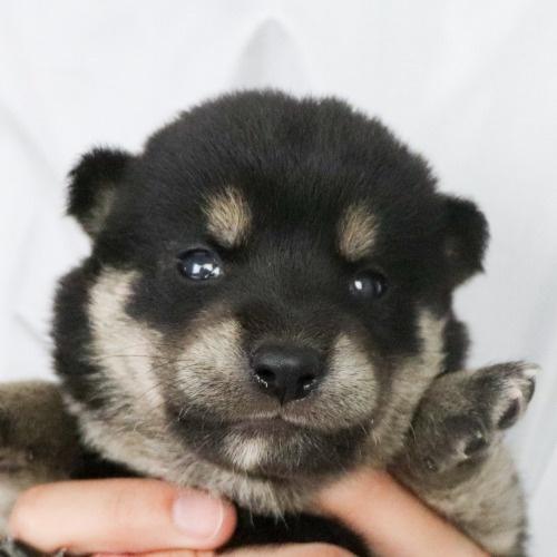 柴犬の子犬(ID:1262511784)の1枚目の写真/更新日:2019-08-29