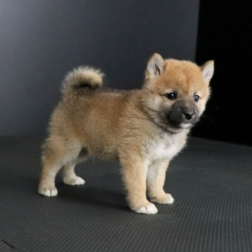 柴犬の子犬(ID:1262511786)の3枚目の写真/更新日:2019-09-13