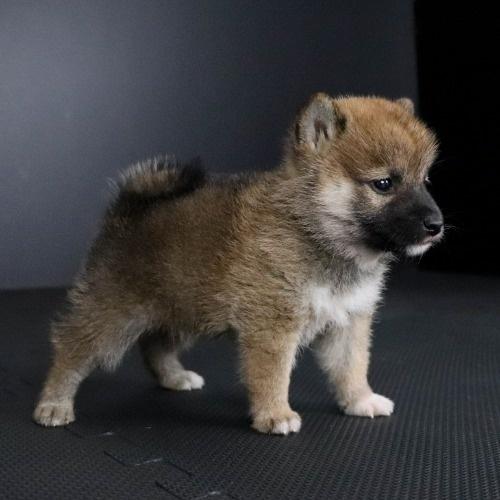 柴犬の子犬(ID:1262511787)の3枚目の写真/更新日:2019-09-14