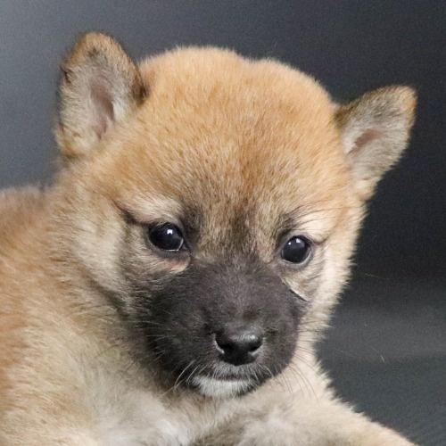 柴犬の子犬(ID:1262511788)の1枚目の写真/更新日:2019-09-14