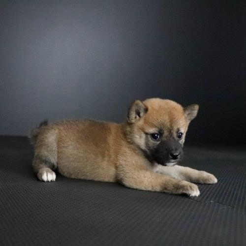 柴犬の子犬(ID:1262511788)の3枚目の写真/更新日:2019-09-14