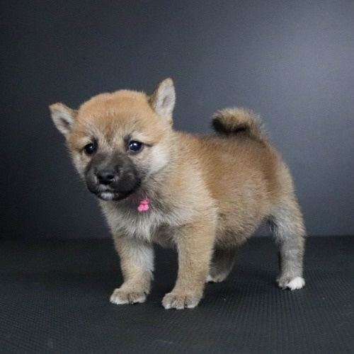 柴犬の子犬(ID:1262511789)の3枚目の写真/更新日:2019-09-14