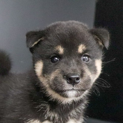 柴犬の子犬(ID:1262511790)の1枚目の写真/更新日:2019-09-16