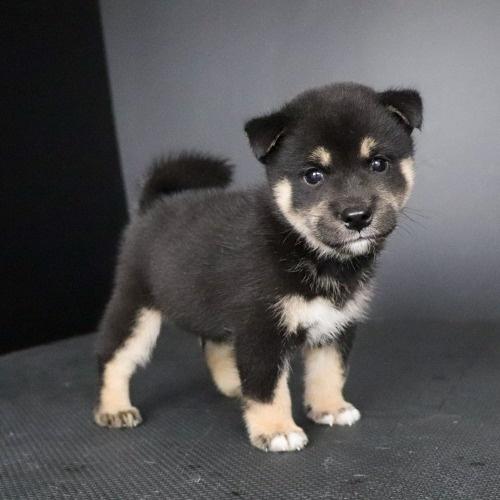 柴犬の子犬(ID:1262511790)の2枚目の写真/更新日:2019-09-16