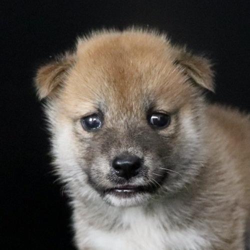 柴犬の子犬(ID:1262511792)の1枚目の写真/更新日:2019-09-14