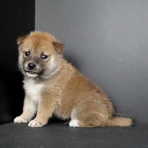 柴犬の子犬(ID:1262511792)の3枚目の写真/更新日:2019-09-14