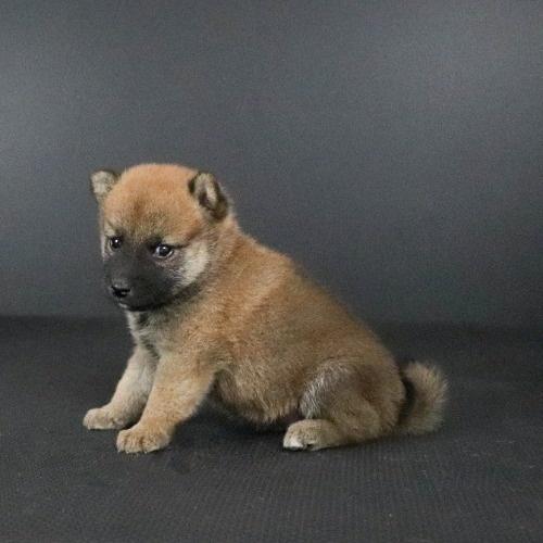 柴犬の子犬(ID:1262511794)の3枚目の写真/更新日:2019-09-15