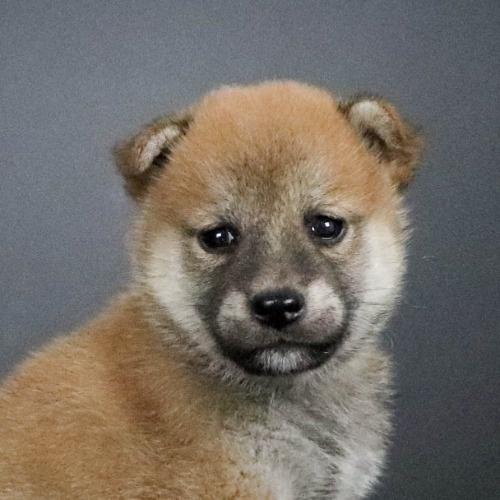柴犬の子犬(ID:1262511795)の1枚目の写真/更新日:2019-09-15