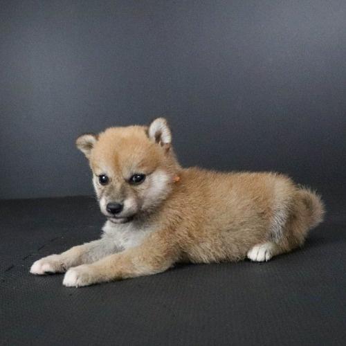 柴犬の子犬(ID:1262511796)の3枚目の写真/更新日:2019-09-15