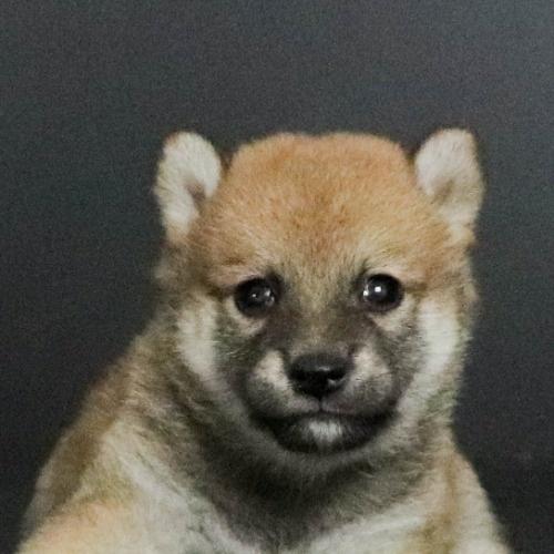 柴犬の子犬(ID:1262511797)の1枚目の写真/更新日:2019-09-15