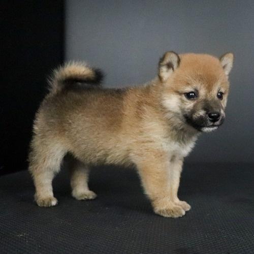 柴犬の子犬(ID:1262511798)の2枚目の写真/更新日:2019-09-13